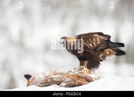 Golden Eagle (Aquila chrysaetos) feeding on a dead red Fox in winter, Norway.