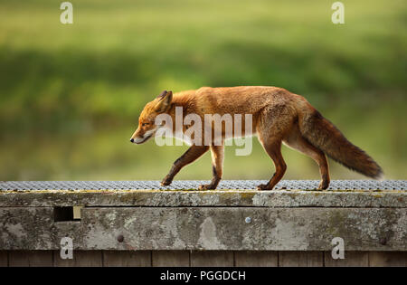 Close up of a Red fox (Vulpes vulpes) crossing a wooden bridge. - Stock Photo