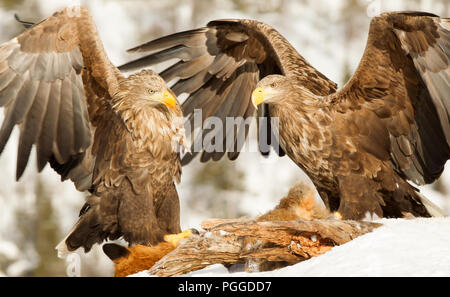Two White-tailed eagles (Haliaeetus albicilla) fighting while feeding on a dead red fox high in winter, Norway. - Stock Photo