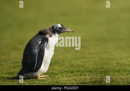 Close up of a young molting gentoo penguin standing alone in the field of grass, Falkland islands. - Stock Photo