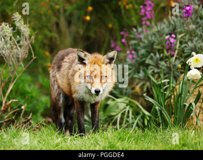 Red fox standing in the garden with flowers, spring in UK. - Stock Photo