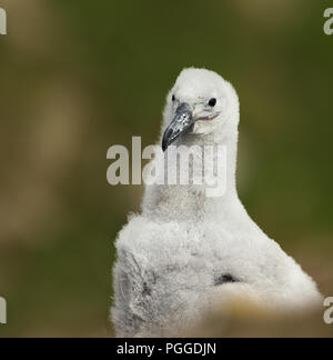 Close-up of a young Black-browed Albatross chick sitting in its mud cup nest on a rocky coastal area, Falkland islands. - Stock Photo