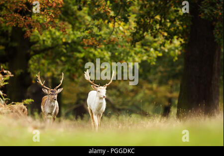 Two Fallow deer (Dama dama) walking in the forest in autumn, UK. - Stock Photo