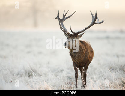 Close-up of a red deer stag standing on a frosted grass in winter, UK. - Stock Photo