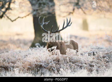 Red deer stag standing in fern on a frosty winter morning, UK. - Stock Photo