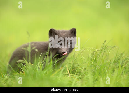 Close up of a cute little Arctic fox cub sitting in the grass, summer in Iceland. - Stock Photo