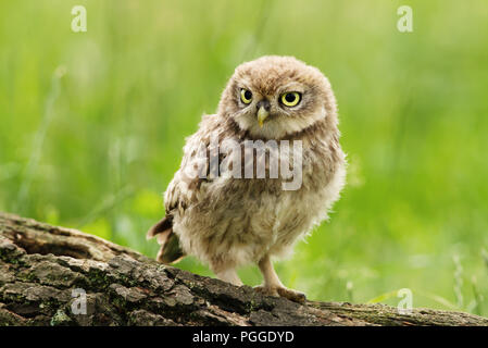 Close-up of a Juvenile Little owl perching on a tree log against green background, UK. - Stock Photo