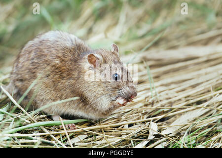 Close-up of a rat feeding in the field, UK. - Stock Photo