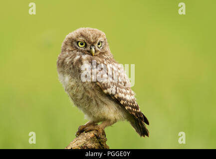 Close-up of a Juvenile Little owl perching on a post against green background, UK. - Stock Photo