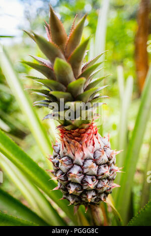 Pineapple tropical fruit growing in a field - Stock Photo