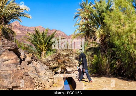 MOROCCO-DEC 27, 2012: Local women with a donkey piled high with dry palm fronds gathered in this large oasis located in the Draa Valley. The fronds ha - Stock Photo