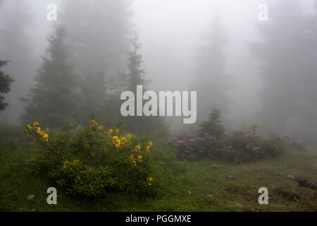 Pine trees, mountain roses (Rhododendron luteum and ponticum) and grass field in fog. The image is captured in the mountain called Sis of Trabzon city - Stock Photo