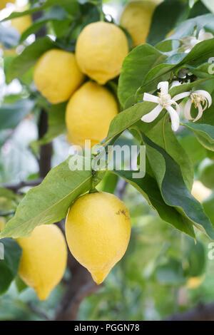 Citrus × limon 'Four Seasons'. Lemon fruiting indoors at RHS Wisley Gardens. - Stock Photo