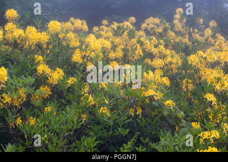 View of mountain roses in fog (Rhododendron luteum) The image is captured in the mountain called Sis of Trabzon city located in Black Sea region of Tu - Stock Photo