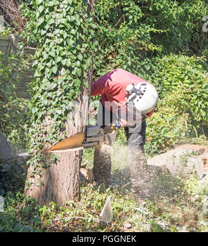 Male tree Surgeon using a chainsaw to cut  down a small tree. - Stock Photo