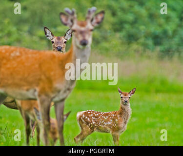 Two adult European Roe deer, Capreolus capreolus, with a spotted fawn, all looking in the same direction at the camera. - Stock Photo