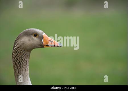 Head and neck portrait of greylag goose, Anser anser - Stock Photo