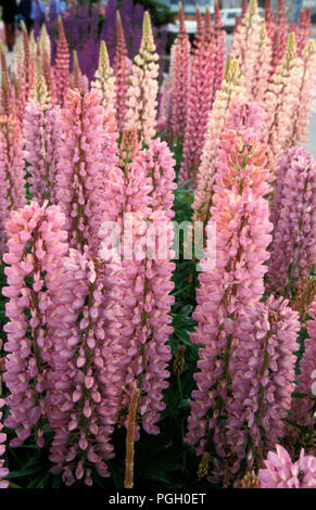 LUPINS (LUPINUS POLYPHYLLUS) RUSSELL HYBRIDS - Stock Photo