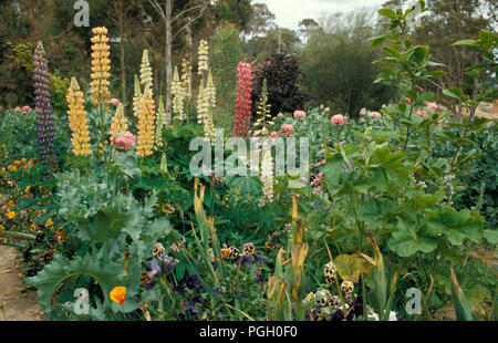 LUPINS (LUPINUS POLYPHYLLUS) RUSSELL HYBRIDS IN COTTAGE GARDEN - Stock Photo