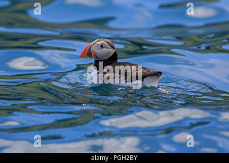 Atlantic Puffin swimming off The Dun St Kilda Outer Hebrides - Stock Photo