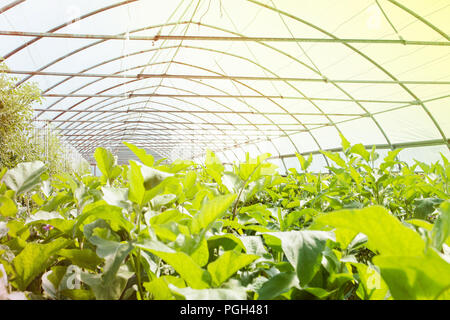 Organic greenhouse. Young plants growing in very large plant in commercial greenhouse. - Stock Photo