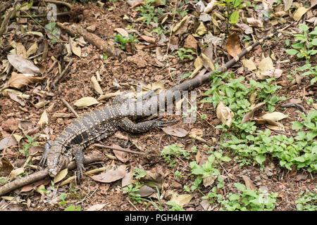 Argentine black and white tegu lizard (Salvator merianae), Iguazu National Park, Misiones, Argentina - Stock Photo