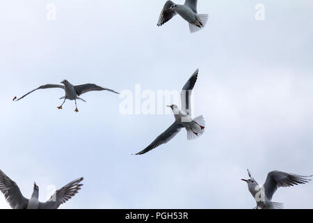 Flock of European seagulls flying with a grey sky in background. These specy of gulls, Laridae family, is extremely common among the birds on the seas - Stock Photo
