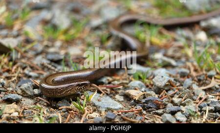 Slowworm, Anguis fragilis, on a hiking trail in the Harz mountain range, Germany. - Stock Photo