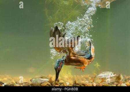 Kingfisher (Alcedo atthis) diving for fish underwater - Stock Photo