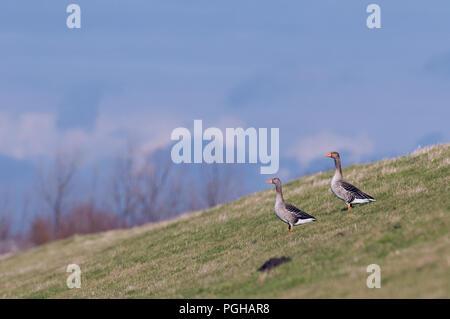 Greylag Goose (Anser anser) - Couple Oie cendrée - Stock Photo