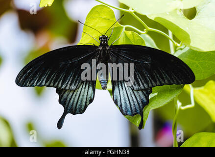 Black Butterfly - Papilio ascalaphus - Stock Photo