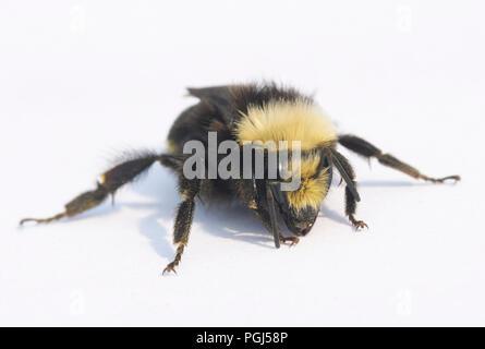 Yellow-faced Bumblebee (Bombus vosnesenskii) Oregon Coast - Stock Photo