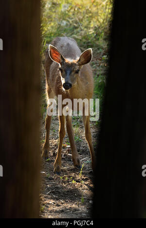 A young Black-tailed female deer (Odocoileus hemionus columbianus); looking up between two tree trunks as she feeds on some green vegetation on Vancou - Stock Photo