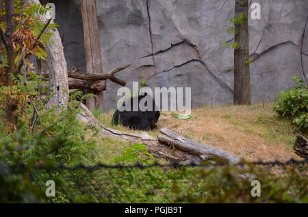 Andean bear Tremarctos ornatus - Stock Photo