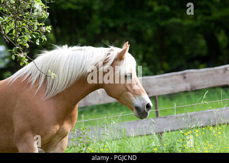 haflinger horse waiting outside portrait - Stock Photo