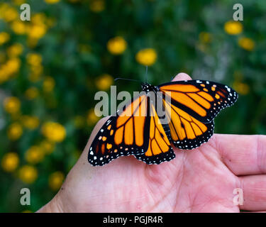 A freshly emerged monarch butterfly, danaus plexippus, sitting on a human hand in a garden in Speculator, NY USA - Stock Photo