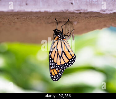 A Monarch butterfly, danaus plexippus, just emerging from the chrysalis stage hanging under a concrete bench in a garden in Speculator, NY USA - Stock Photo