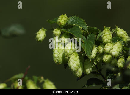 Hops (Humulus lupulus) growing in the wild in the UK. - Stock Photo