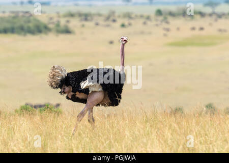 Male of African ostrich (Struthio camelus) in National reserve park of Kenya - Stock Photo