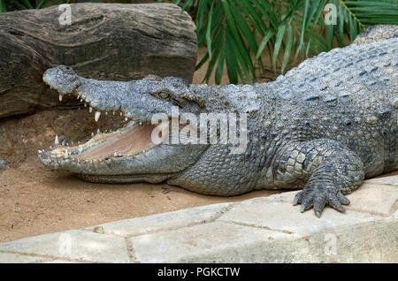 Laying crocodile in a zoo - Stock Photo