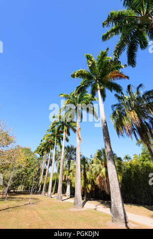 Row of tall straight palmtrees at Saltwater Creek, Cairns, Far North Queensland, FNQ, QLD, Australia - Stock Photo