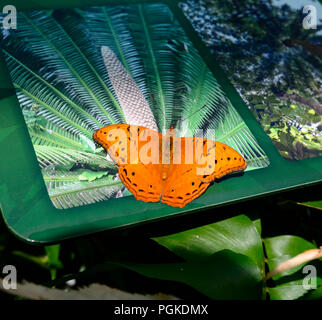 Cruiser Butterfly (Vindula arsinoe), Watkins Munro Martin Conservatory, Cairns Botanic Gardens, Edge Hill, Far North Queensland, FNQ, QLD, Australia - Stock Photo