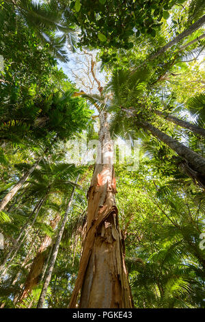 Tall Paperbark tree beside the Rainforest Boardwalk, Cairns Botanic Gardens, Edge Hill, Far North Queensland, FNQ, QLD, Australia - Stock Photo
