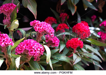 pink flower or pink and red cockscomb flower in the garden - Stock Photo