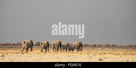 Rear view of a breeding herd of African Elephant - Loxodonta africana - with young heading across the plains of Etosha, Namibia. - Stock Photo