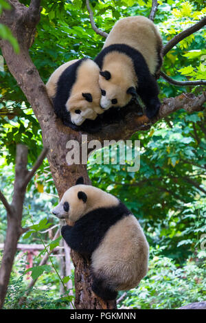 Two giant pandas playing in a tree in day - Stock Photo