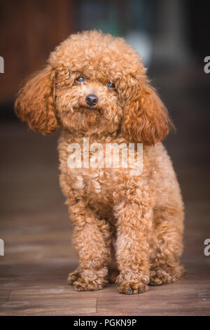 cute toy poodle standing inside house - Stock Photo