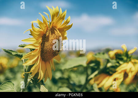 sunflowers in august II - Stock Photo