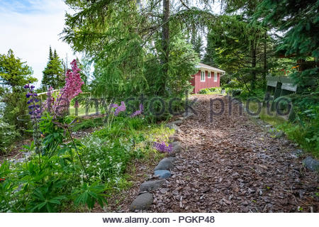Lupin flowers bloom on walkway to a cabin located a short walk from Lake Superior, near Lutsen, Minnesota, USA. - Stock Photo