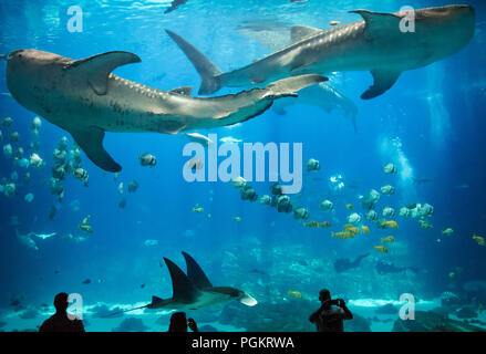 Atlanta's Georgia Aquarium gives visitors a breathtaking underwater view as massive whale sharks and a manta ray swim with two human divers. - Stock Photo
